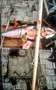 Whale hunting in the Barents Sea.
