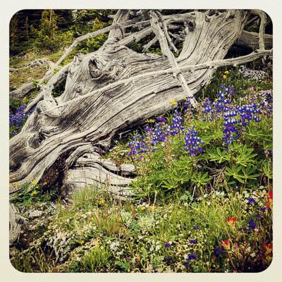 Blomsterprakt i høyfjellet