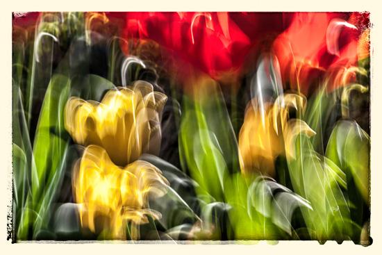 Tulipaner i Pats hage