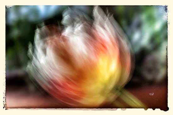 En tulip i Pats hage
