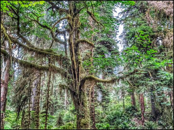 Den frodige, tempererte regnskog ved Hoh