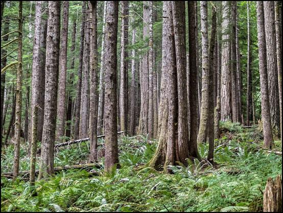 Den frodige urskogen langs East Fork Foss River